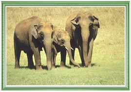 Elephants in Nagarhole